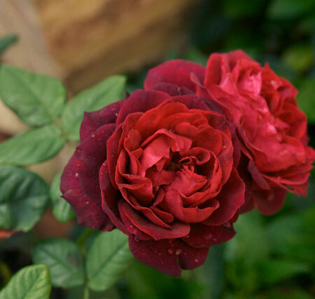 OPT_Ferragosto-Rose