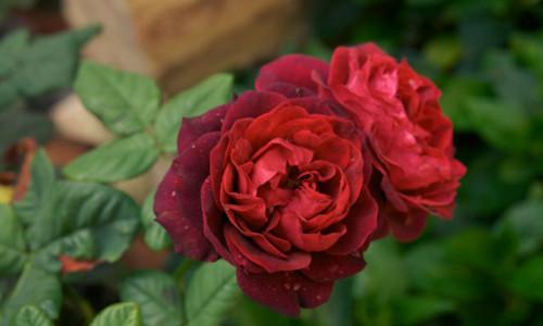 Ferragosto rose